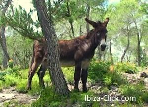 burro-ibiza-click